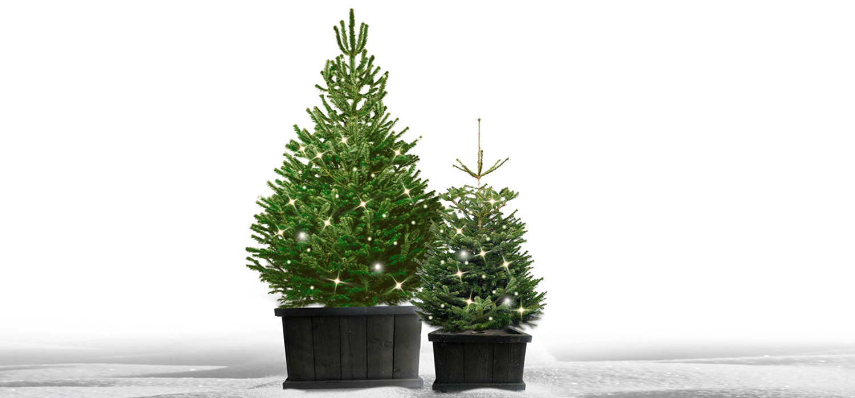 Nordmann kerstboom in kist met verlichting voor buiten bestellen in Amsterdam